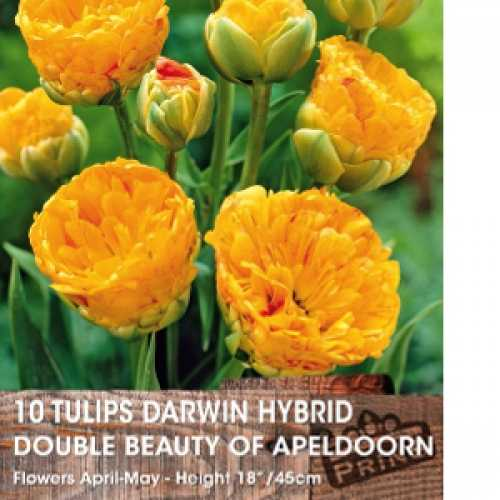 Tulips Darwin Hybrid Beauty of Spring 10 Per Pack