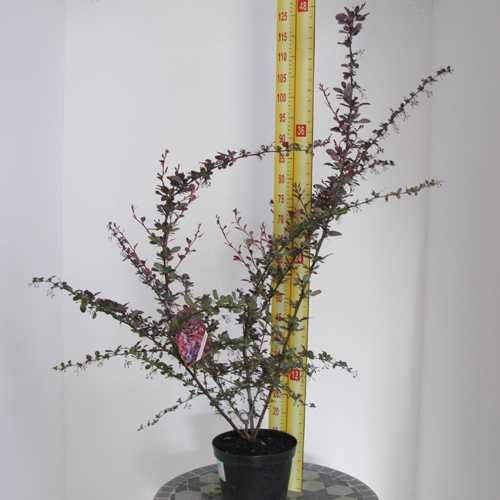 Berberis Ottawensis Auricoma