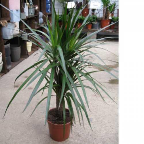 Dracaena Marginata (Dragon Tree) Indoor Plant