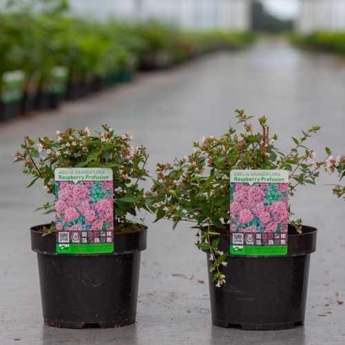 Abelia Grandiflora 'Raspberry Profusion'