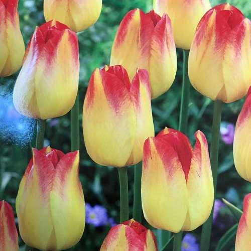 Tulips Bulbs Darwin Hybrid Suncatcher 10 Per Pack