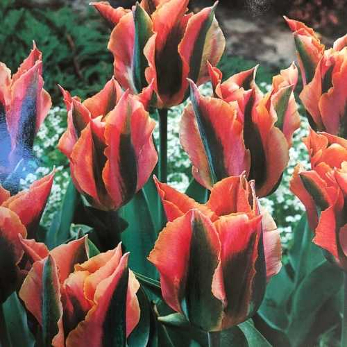 Tulips Bulbs Viridiflora Artist 10 Per Pack