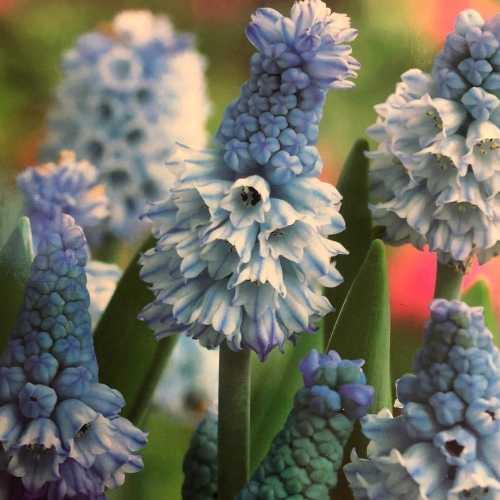 Muscari Bulbs Armeniacum Azureum 15 Per Pack