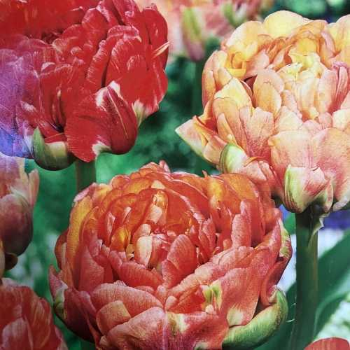 Tulip Bulbs Double Late Gudosnick 25 Per Pack