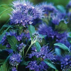 Caryopteris Grand Bleu (Blue Mist Shrub) 1 Ltr