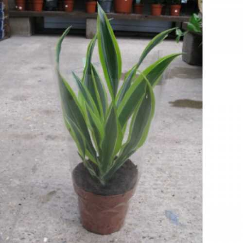 Dracaena Deremensis (Dragon Plant) House Plant