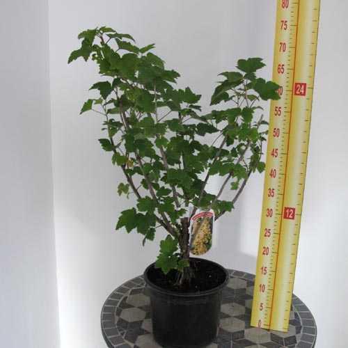 Blackcurrant Bush/Ribes Nigrum (Ben Connan) 4Ltr Pot