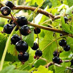 Blackcurrant Bush/Ribes Nigrum (Ben Connan) 4Ltr Pot