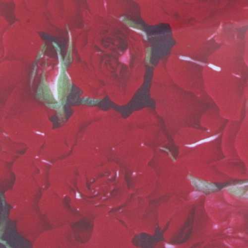 Festival (Kordialo) 1/2 Standard Rose