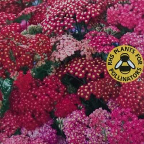 Achillea Millifolium Summer Berries : Common Yarrow