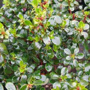 Escallonia Red Dream