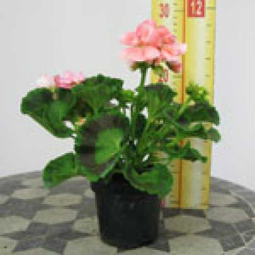 Geranium Potted Light Salmon (Summer Bedding) 10.5cm Pot  15 Per Box