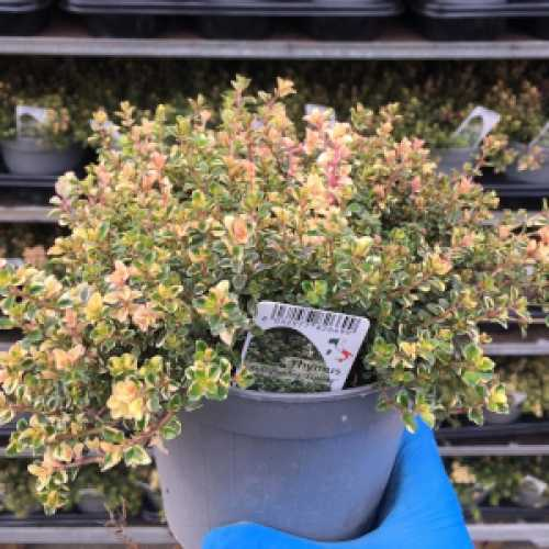 Thyme (Foxley)