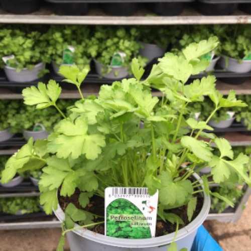 Parsley (Petroselinum Savitum)
