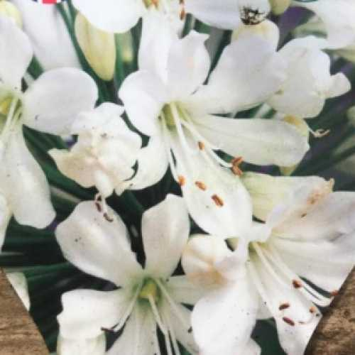 Agapanthus Snow Crystal (Africal Lily)