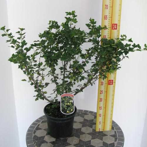 Gooseberry General 3 Litre Pot