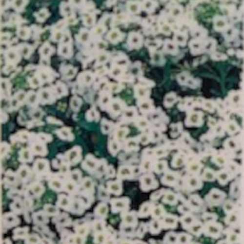 Alyssum White 10 Per Pack