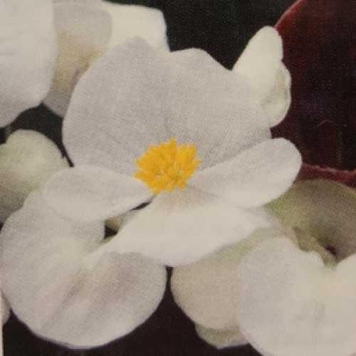 Begonia Semperflorens Dark Leaf White Flower 10 Per Pack
