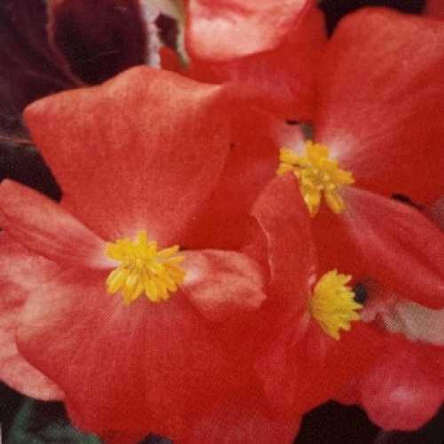 Begonia Semperflorens Dark Leaf Red Flower 10 Per Pack
