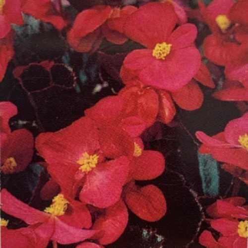Begonia Semperflorens Dark Leaf Rose Flower 10 Per Pack