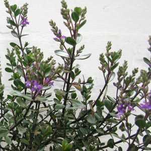 Hebe Garden Beauty Purple
