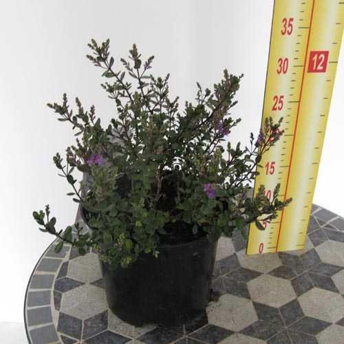 Hebe Garden Beauty Purple (Shrubby Veronica) 2 Ltr