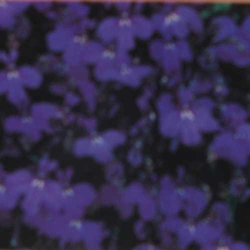 Lobelia erinus Compact Crystal Palace 6 Per Pack