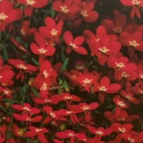 Lobelia erinus Compact Rosamond 6 Per Pack
