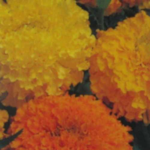 Marigold African Mixed Colours 10 Per pack