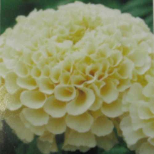 Marigold African Vanilla 10 Per Tray