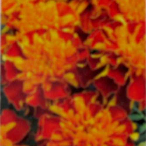 Marigold Bonanza Harmony 10 Per Pack