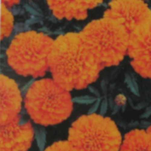 Marigold French Bonanza Orange 10 Per Pack