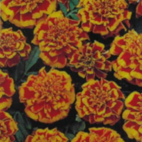 Marigold French Flame 10 Per Pack