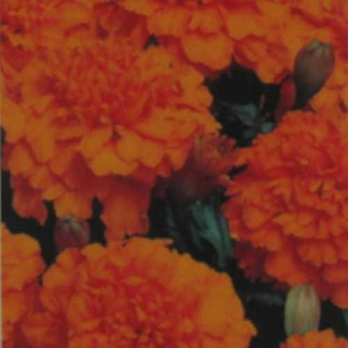 Marigold French Orange 10 Per Pack