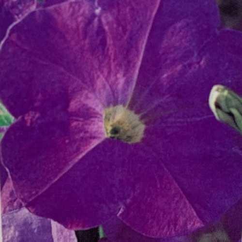 Petunia Frenzy Light Blue 10 Per Pack