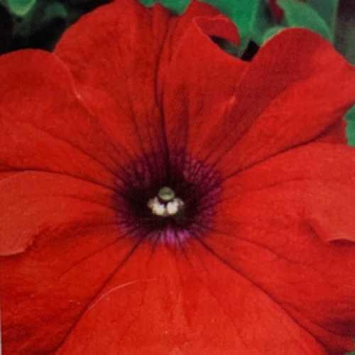 Petunia Red 10 Per Pack