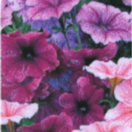 Petunia Reflections Mix 10 Per Pack