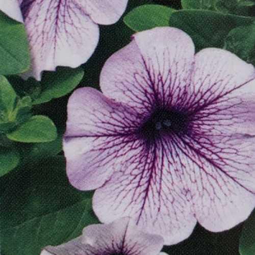 Petunia Blue Vein 10 Per Pack