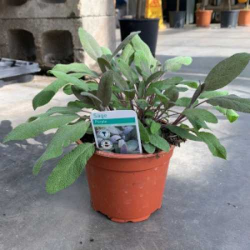 Purple Sage (Salvia officinalis 'Purpurascens') 1L