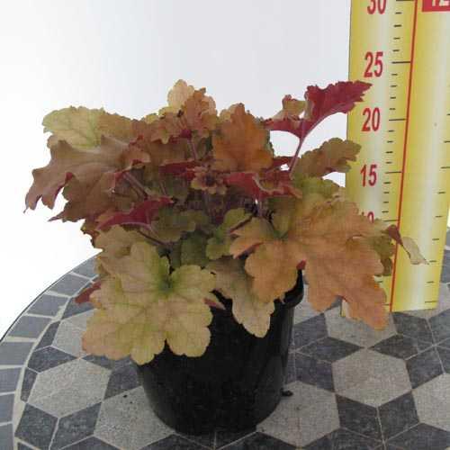 Heuchera Marmalade (Coral Bells)