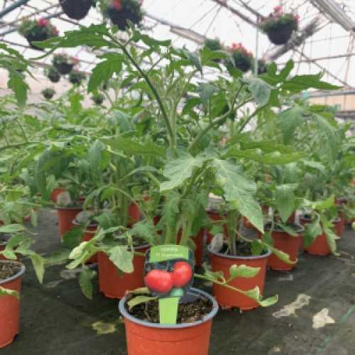 Tomato Plant 'Supersteak'