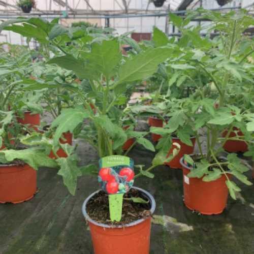 Tomato Plant 'Moneymaker'