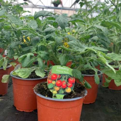 Tomato Plant Cherry Falls