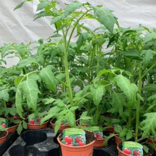 Tomato 'Supersweet'