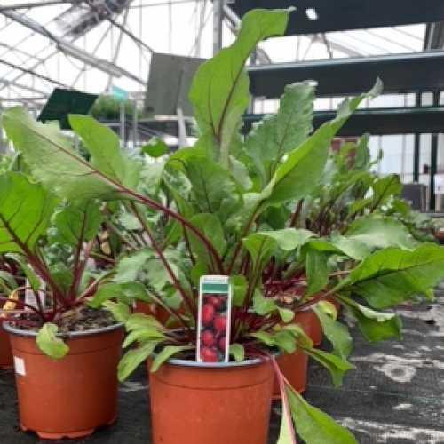 Beetroot Plant 1L