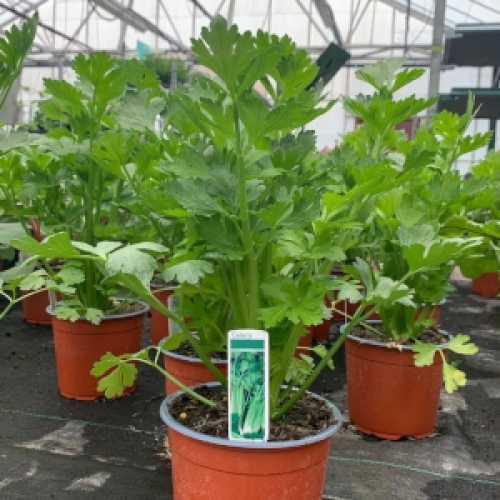 Celery Plant 1L