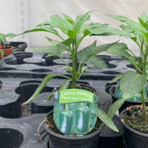 Chilli Pepper (Jalapeno Type) F1 La Bomba Plant