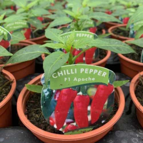 Chilli Pepper F1 'Apache' Plant