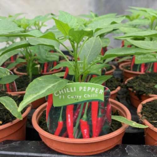 Chilli Pepper F1 'Curry Chilli' Plant