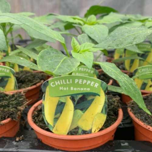 Chilli Pepper 'Hot Banana' Plant